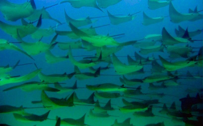 Cabo Pulmo - Einmaliges Erlebnis: Tausende von Mobula oder Teufelrochen - Cortez Sea oder Golf von Kalifornien - Baja California