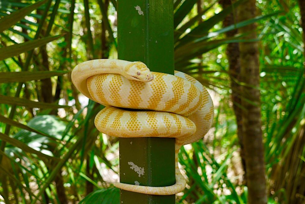 Faszinierend schöne Albino Tigerphyton - Wildlife Territory Park bei Darwin - Northern Territory