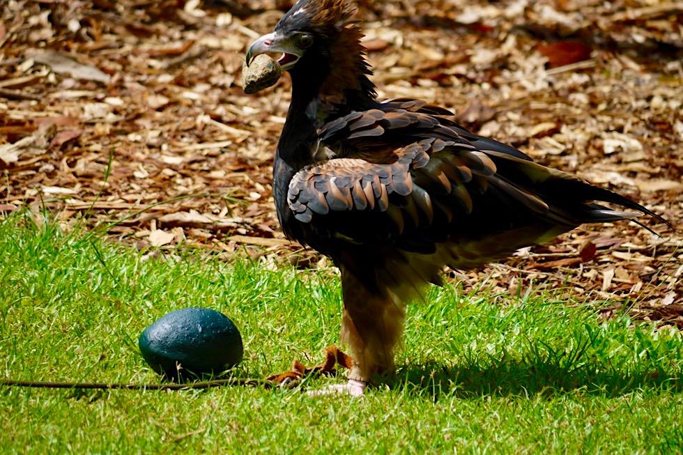 Black-breasted Buzzard oder Schwarzbrust-Bussard? - Territory Wildlife Park bei Darwin - Northern Territory
