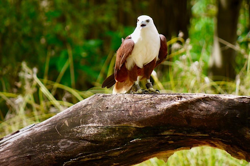 Brahminy Kite: mittelgroßer Greifvogel - Territory Wildlife Park bei Darwin - Northern Territory