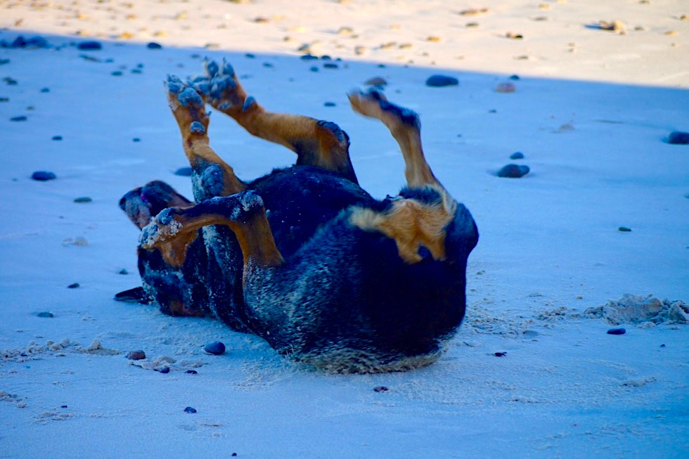 Rottweiler Hund rollt sich im Sand: Tierischer Spass am Strand - Baja California