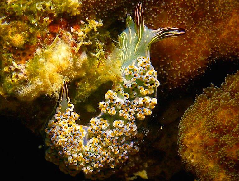 Tauchen & Schnorcheln im National Marine Park Sea of Cortez: Wunderschöne Nacktschnecken - Baja California