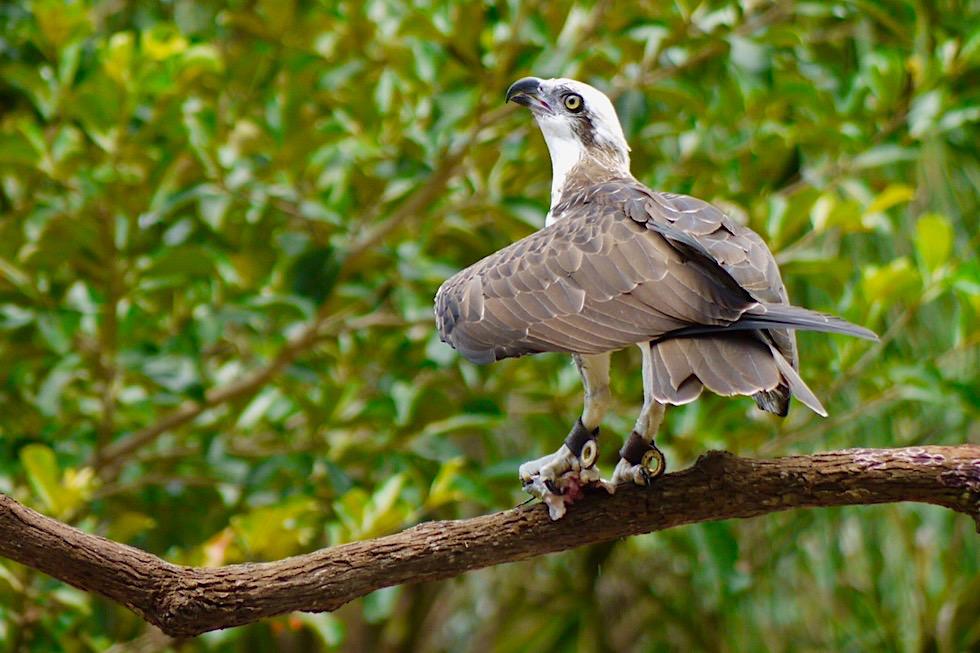 Vogelflugshow: Fischadler mit Beute - Territory Wildlife Park nahe Darwin - Northern Territory