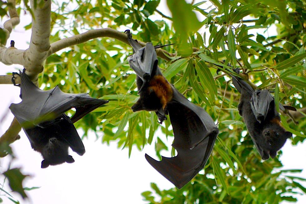 Flughunde: größte Fledermausart - Nitmiluk National Park - Northern Territory