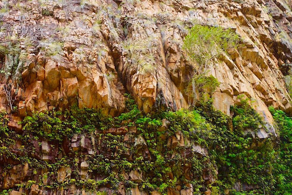 Katherine Gorge - Imposante Felswand mit Efeu & Pflanzen bewachsen - Nitmiluk National Park - Northern Territory