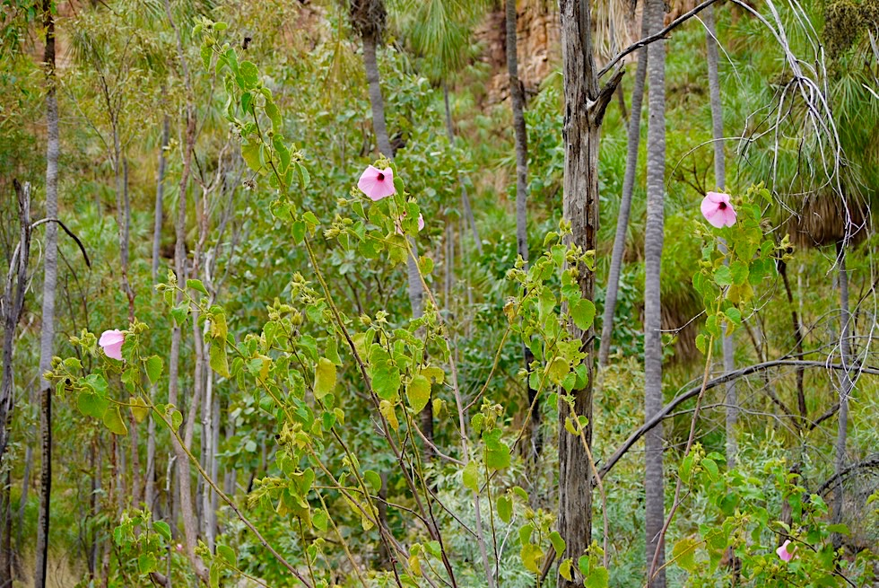 Katherine Gorge Wanderung - Grüne Sackgasse - Nitmiluk National Park - Northern Territory