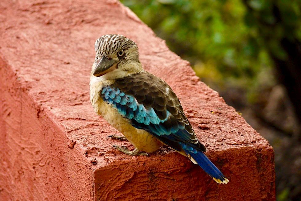 Lachende Kookaburra Nitmiluk National Park - Northern Territory