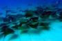 Cabo Pulmo – Faszination Mobulas: Tausende von fliegenden Teufelsrochen!