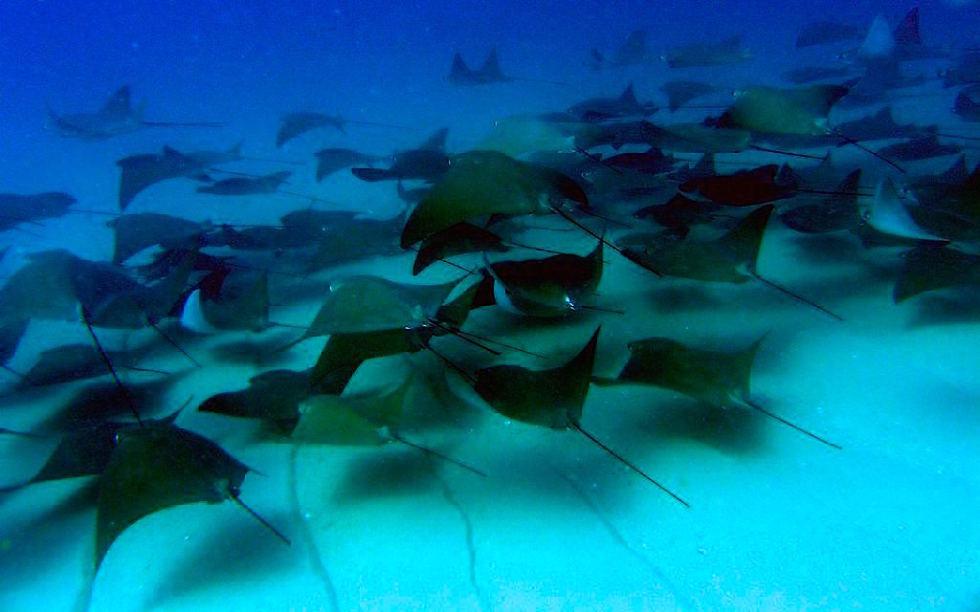 Cabo Pulmo - Tausende von Mobulas ziehen unter der Wasseroberfläche - Baja California