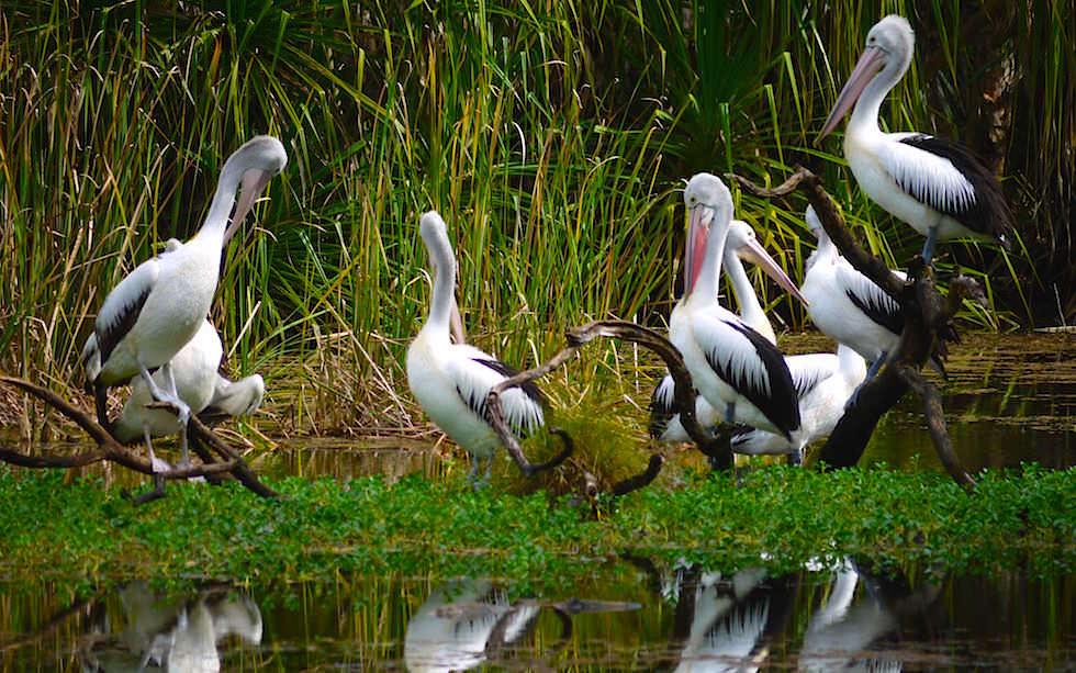 Riesen-Pelikane im Territory Wildlife Park - Northern Territory