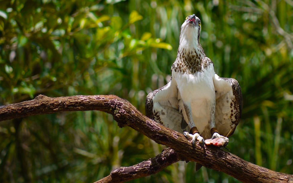 Greifvögel im Territory Wildlife Park: Fischadler oder Osprey - Northern Territory