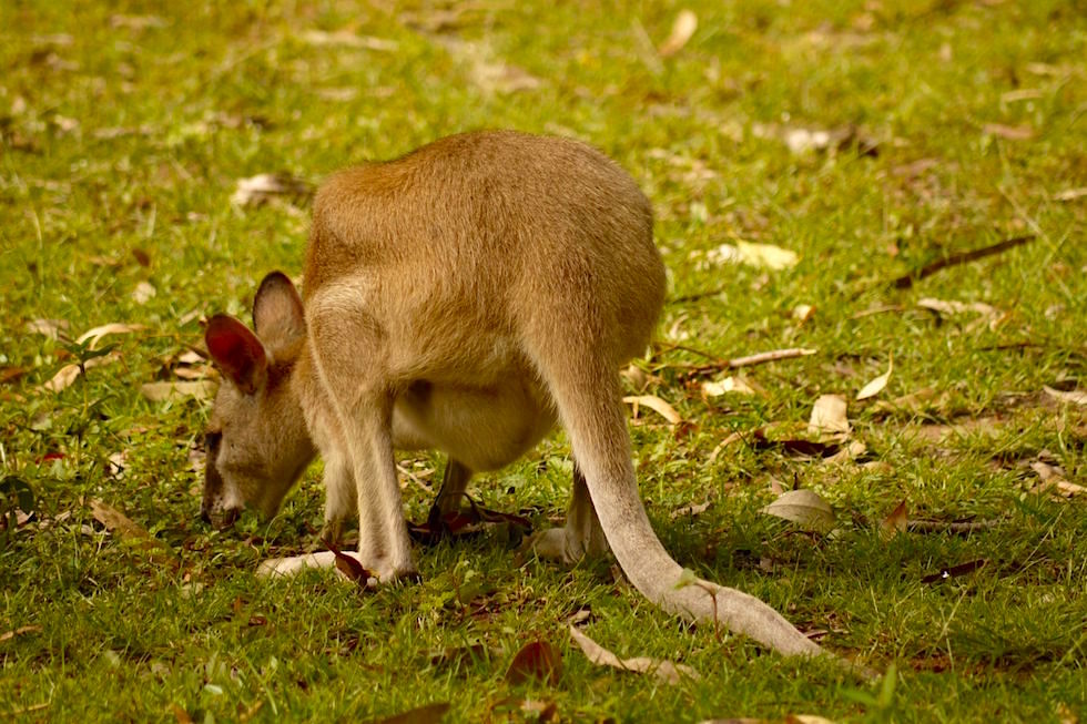 Wallaby beim grasen - Litchfield National Park - Northern Territory