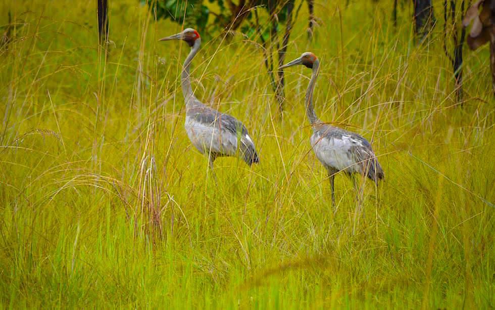 Schöne Brolga Kraniche ziehen durch Graslandschaft - Northern Territory