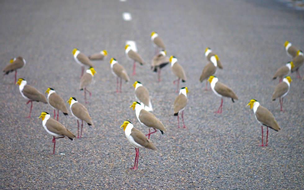 Litchfield National Park: Maskenkiebitze (Masked Lapwing) wärmen sich auf der Straße - Northern Territory