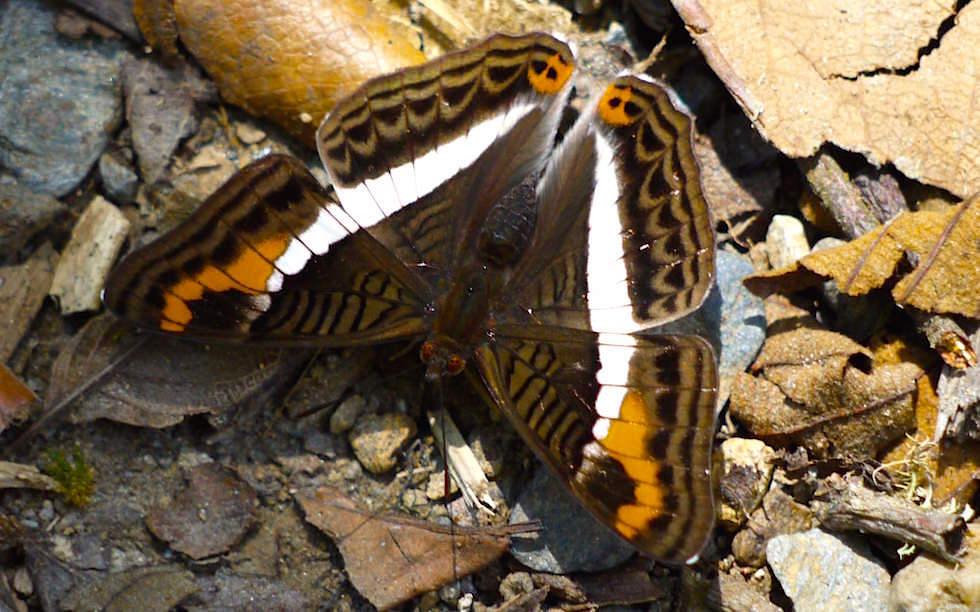Schmetterling Valle del Cocora - Salento - Kolumbien