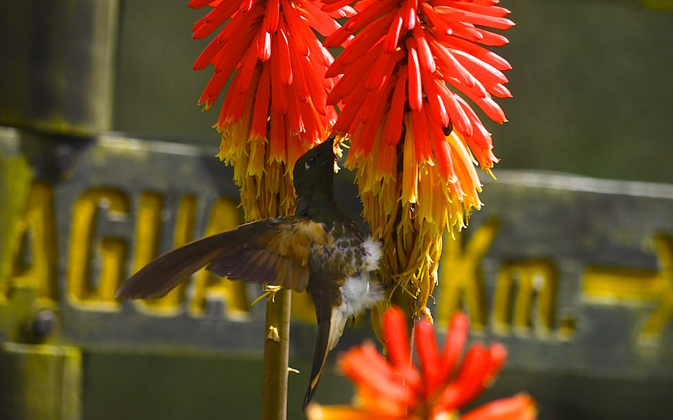 Humming Birds -Valle del Cocora - Salento - Colombia