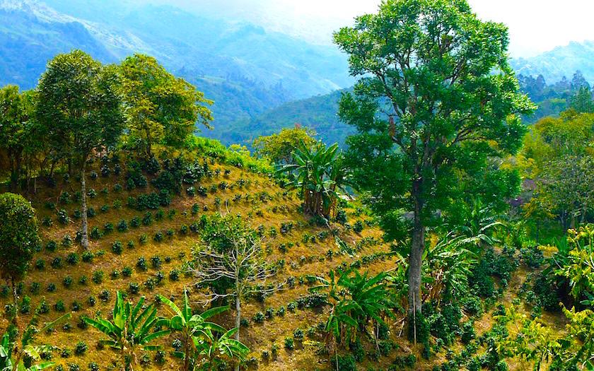 Salento Colombia - cafe plants