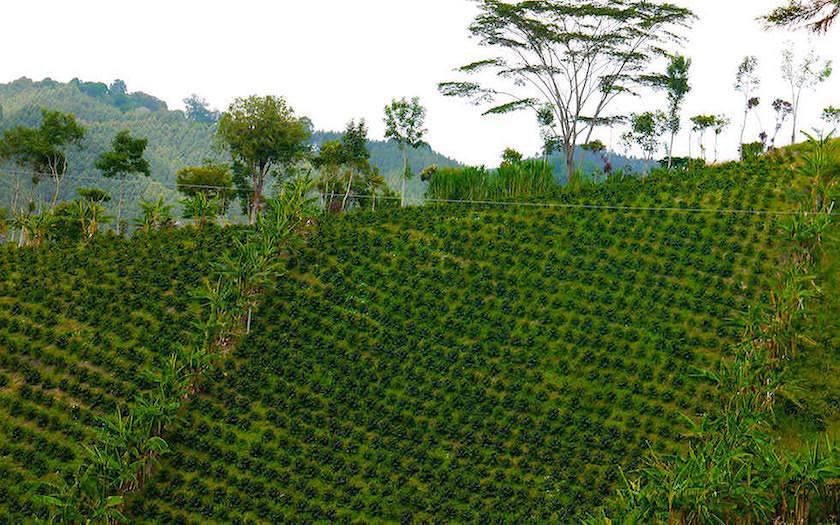 Salento Colombia - Kaffe Pflanzen