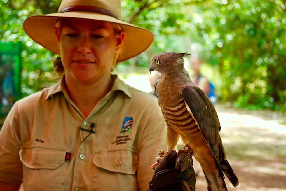 Lustiger Papuaweih oder Pacific Baza - Territory Wildlife Park bei Darwin - Northern Territory