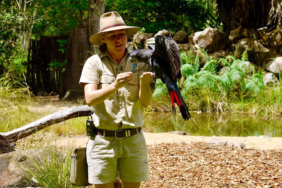 Lustig aussehender Red-tailed Black-Cockatoo oder Banks Rabenkakadu - Territory Wildlife Park bei Darwin - Northern Territory