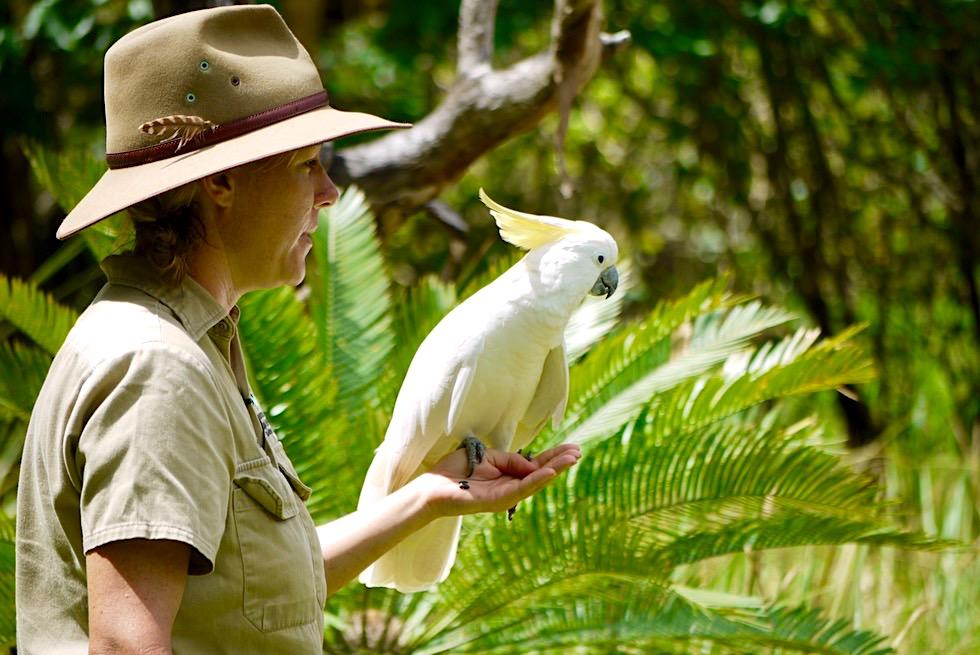 Sulphur-crested Cockatoo oder Gelbhaubenkakadu - Territory Wildlife Park - Northern Territory