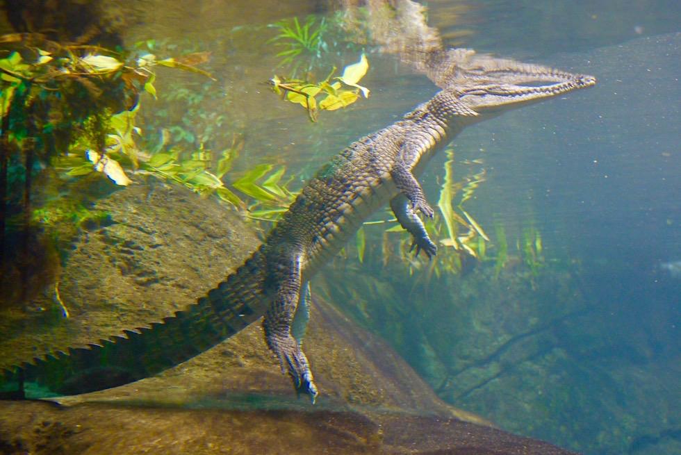 Territory Wildlife Park bei Darwin - Aquarium mit Krokodil - Northern Territory
