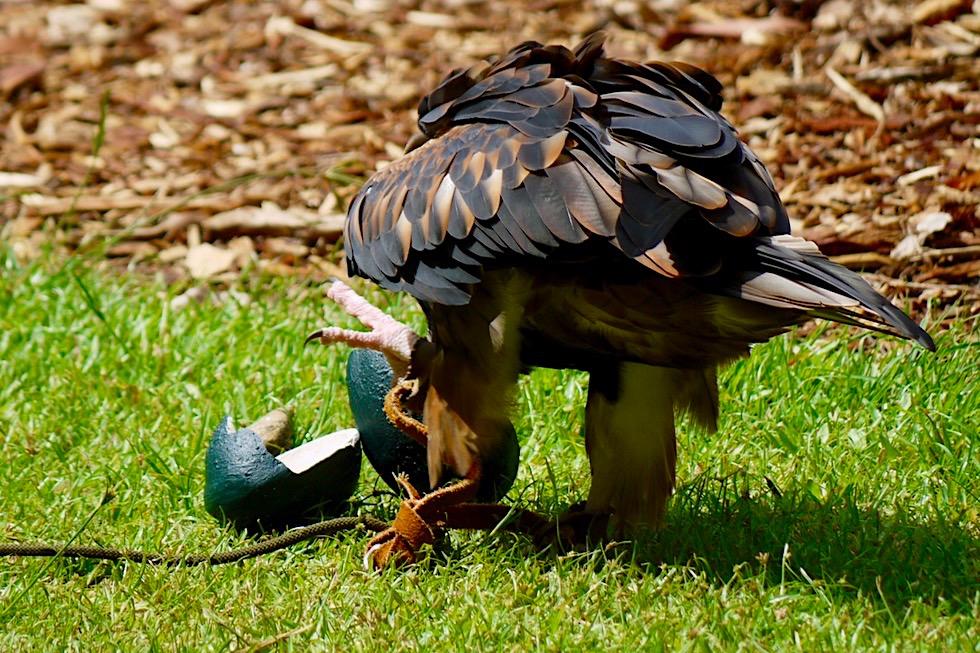 Territory Wildlife Park - Jagdmethoden: Black-breasted Buzzard oder Schwarzbrust-Bussard zerschlägt mit einen Stein ein Vogelei - Northern Territory