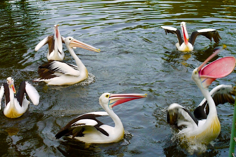Territory Wildlife Park - Wildes Geschrei beim Füttern: Brillen-Pelikane oder Australische Pelikane - Northern Territory
