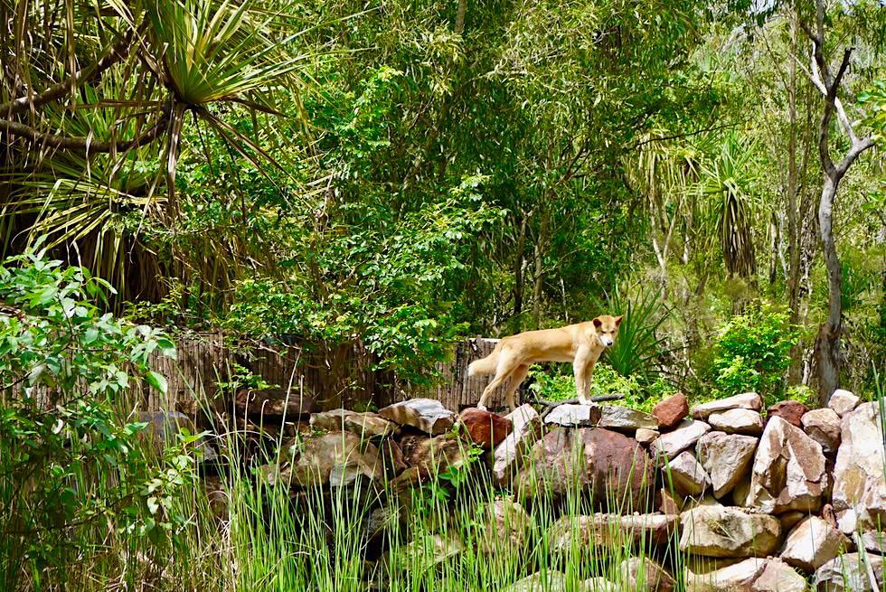 Territory Wildlife Park - Dingo Gehege - Darwin, Northern Territory