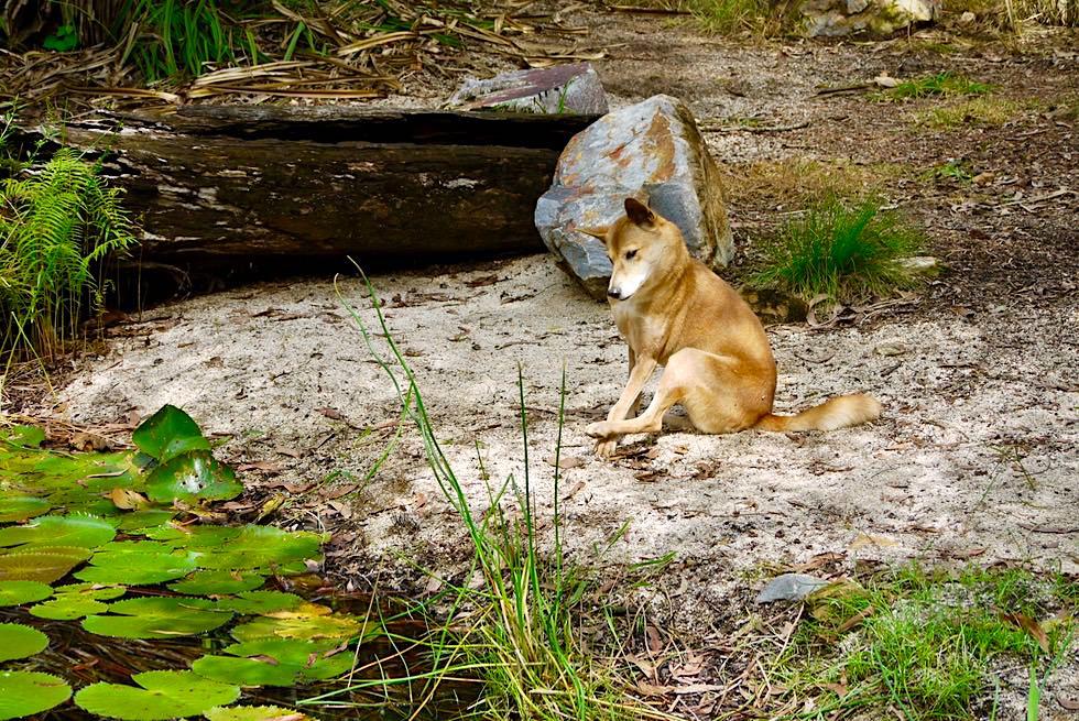 Territory Wildlife Park - Was aussieht wie ein Haushund, ist ein wilder Dingo - nahe Darwin, Northern Territory