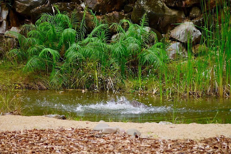 Territory Wildlife Park - Jagdmethoden Greifvögel: Fischadler stürzt sich ins Wasser und tauch mit Fisch wieder auf - Northern Territory