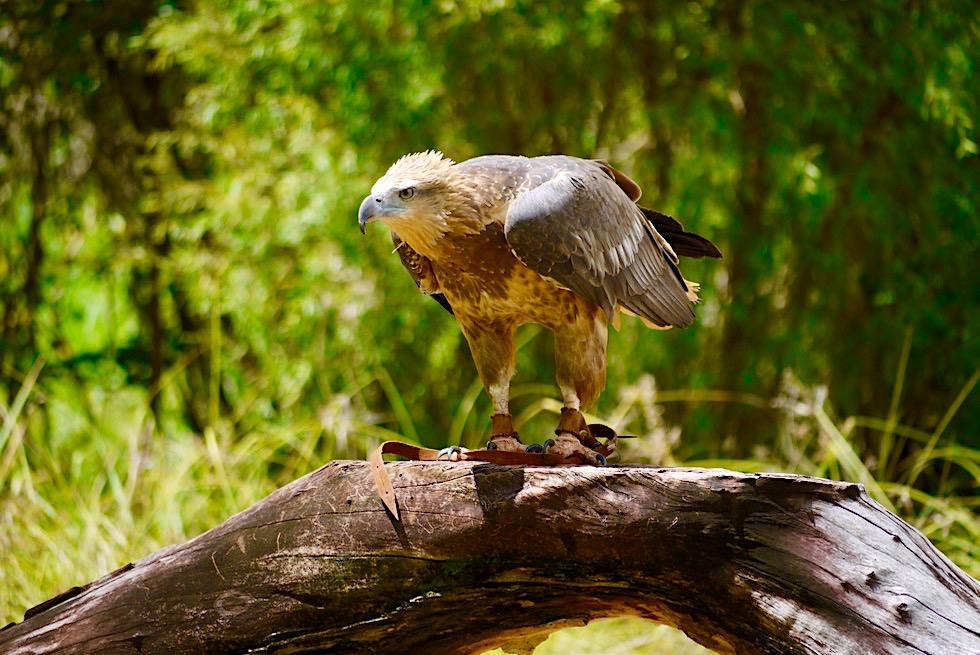 Territory Wildlife Park bei Darwin - Keilschwanzadler Jungvogel bei der Flugshow - Northern Territory