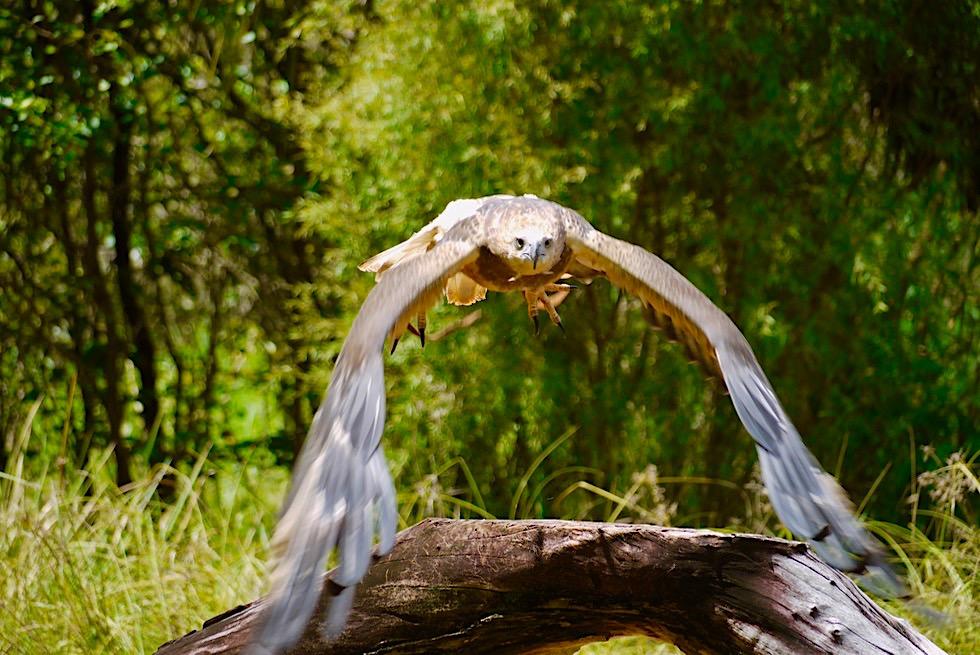 Territory Wildlife Park - Keilschwanz-Adler im Flug bei einer Vogelflugshow - Northern Territory