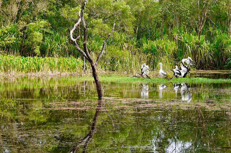Territory Wildlife Park - Bereich Wetland: Billabongs & viele Vögel - Northern Territory