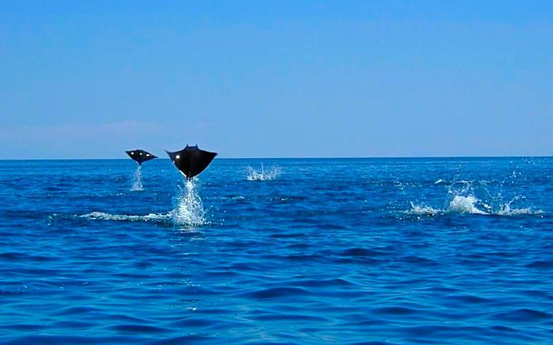 Cabo Pulmo -Faszination fliegende Mobulas: Schwärme von Teufelsrochen - Baja California