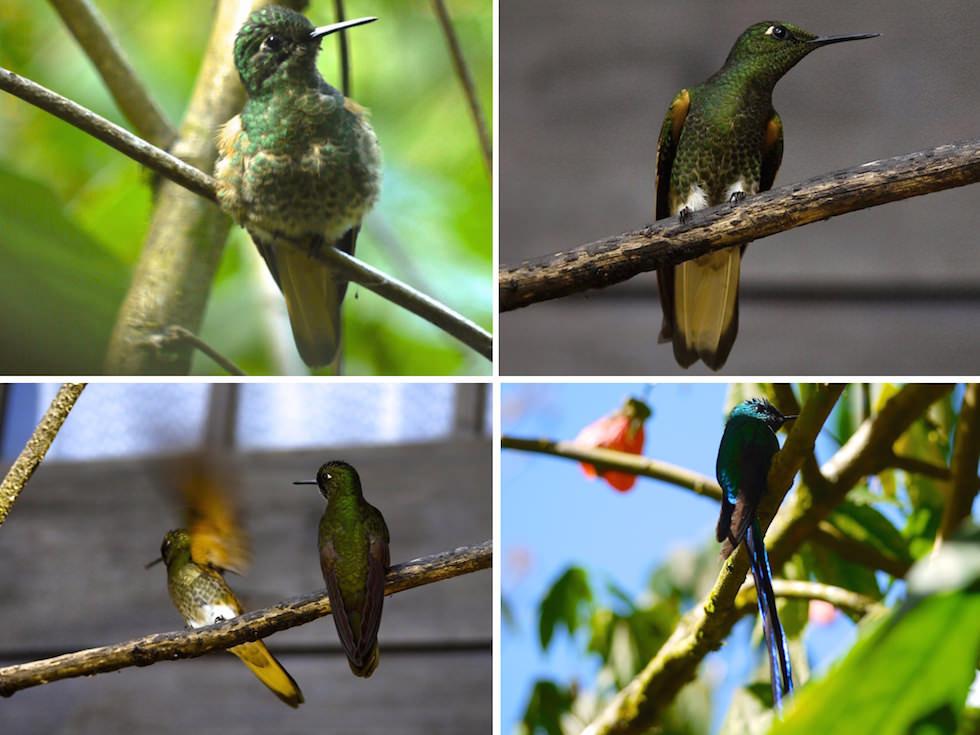 Humming Birds -Valle del Cocora - Salento - Colombia