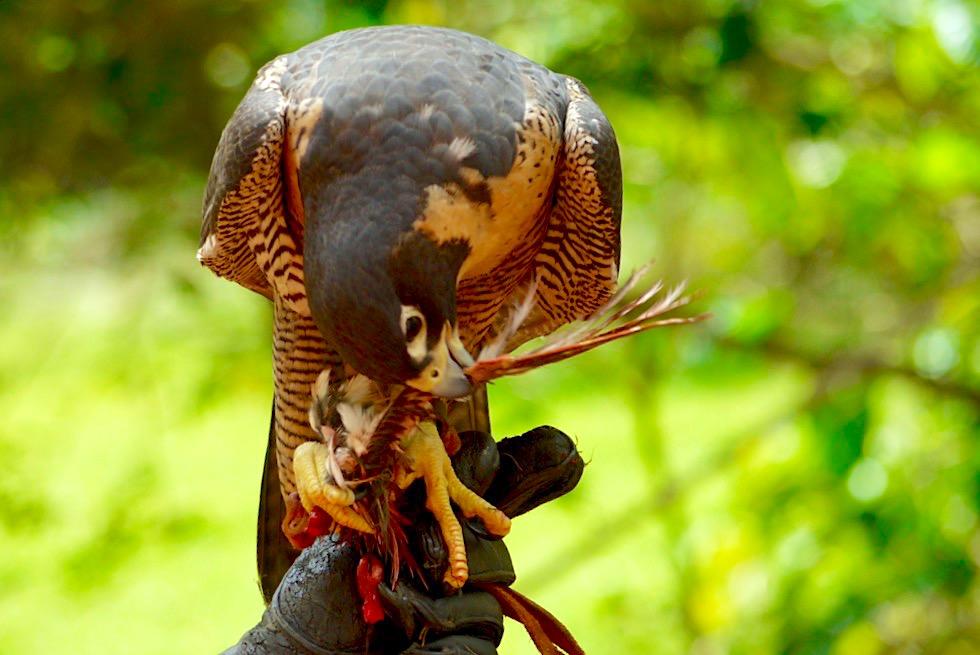 Faszinierend: Wanderfalke beim Fressen - Territory Wildlife Park bei Darwin - Northern Territory