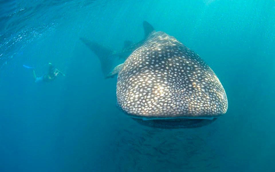 Whale Shark Cortez Club