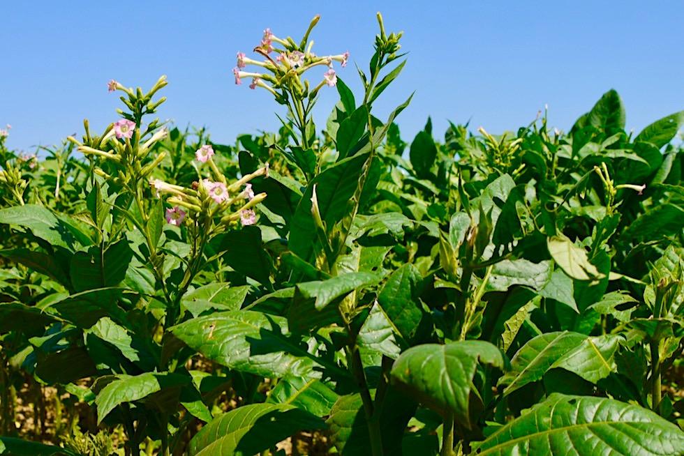 Wunderschön blühende Tabakpflanzen - Vinales Tal - Kuba
