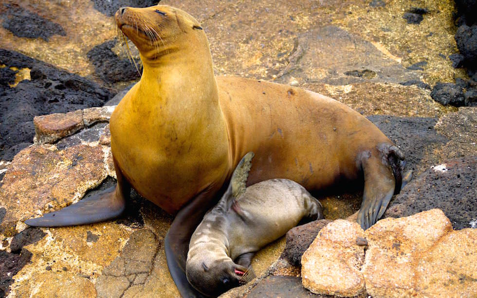 Galapagos - North Seymour - Seelöwen