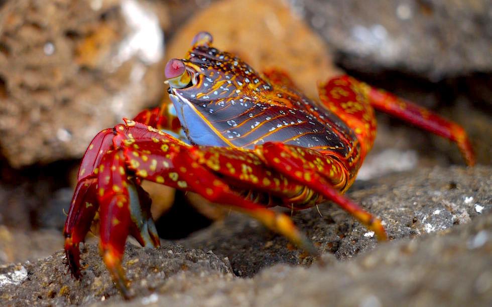 Galapagos - North Seymour - Rote Klippenkrabbe