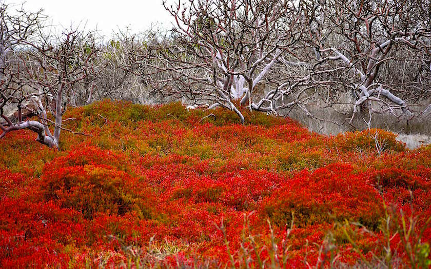 Galapagos - North Seymour - Balsambäume