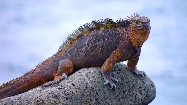 Galapagos - North Seymour - Meerechse auf Stein