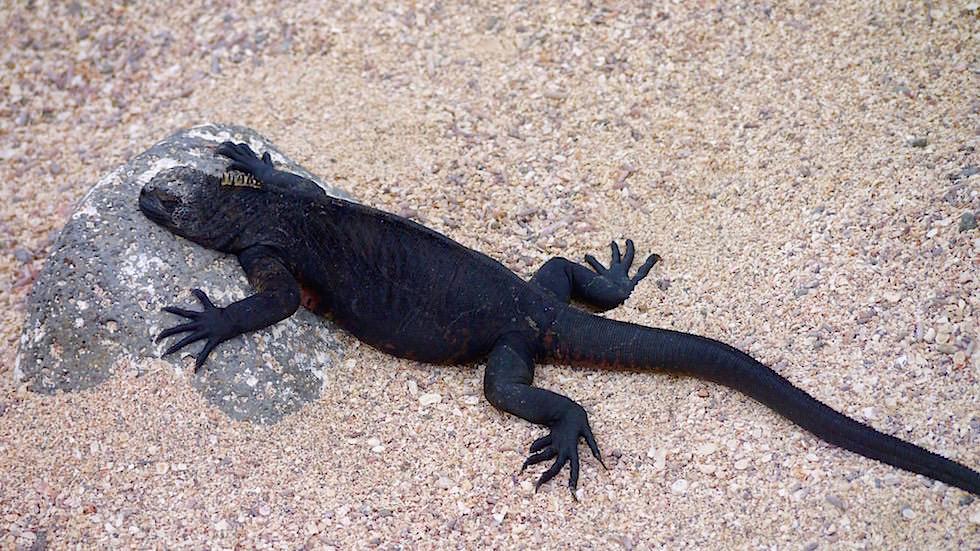 Galapagos - North Seymour - Meerechse schwarz beim Aufwärmen