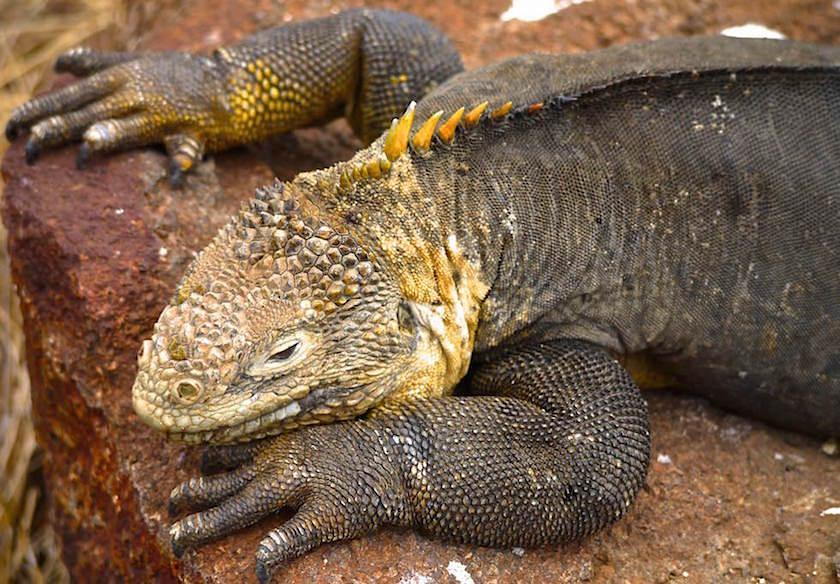 Galapagos - North Seymour - Galapagos Landleguan