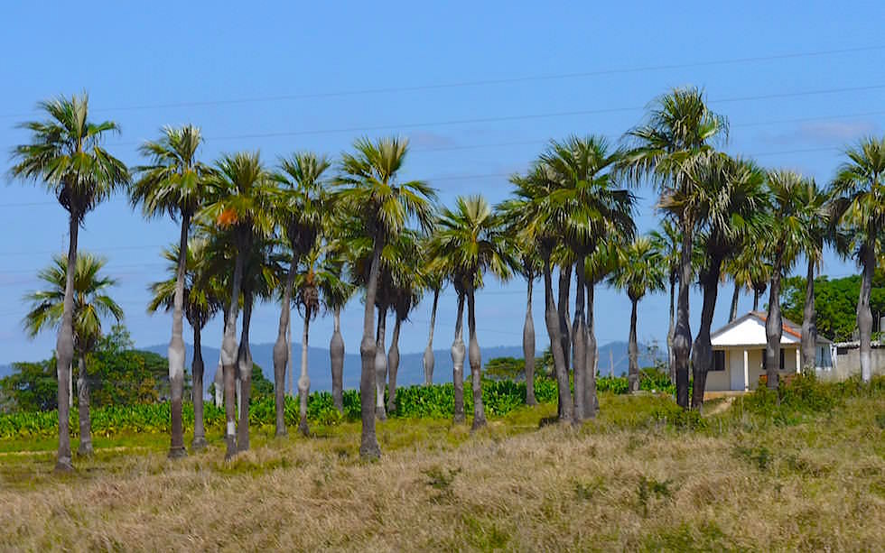 Schwangere Palmen in Vinales Kuba