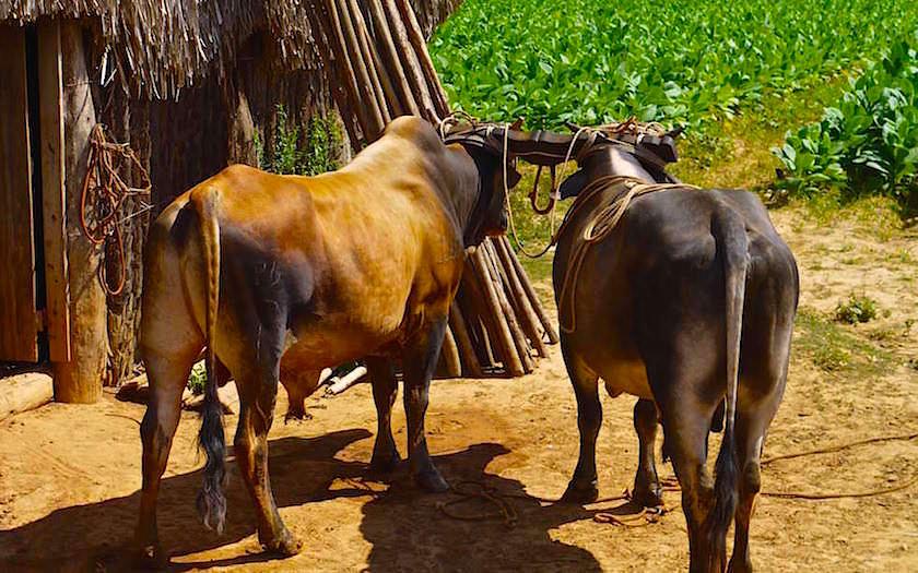 Arbeitstiere Ochsen Vinales Kuba