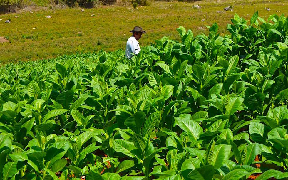 Scheune zum Tabak Trocknen Vinales Kuba