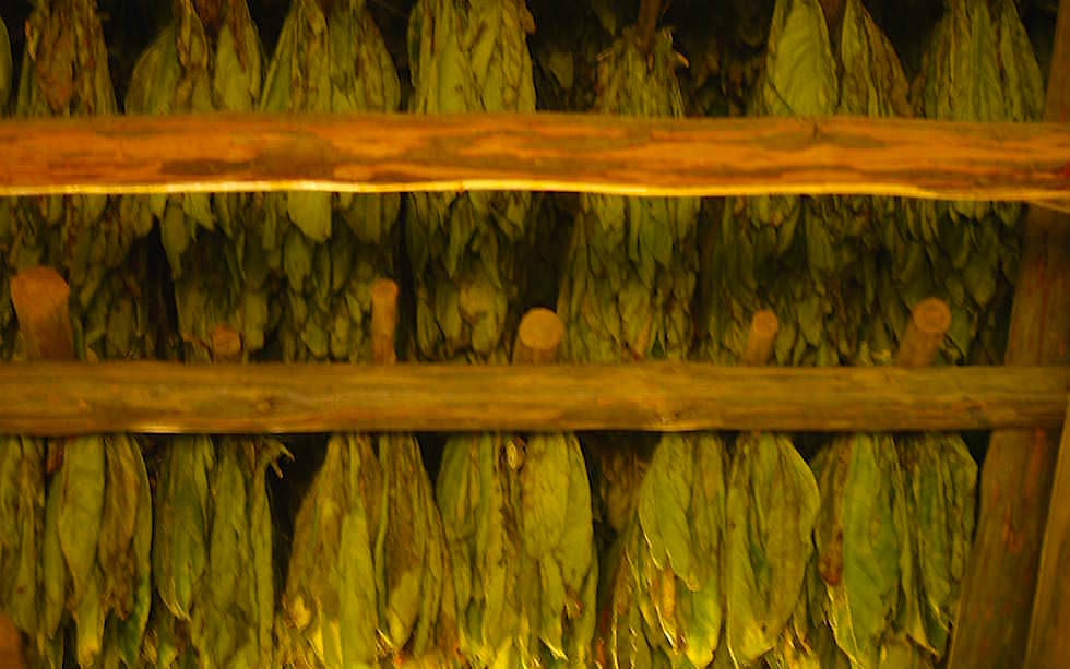 Tabakblätter zum Trocknen aufgehängt Vinales Kuba