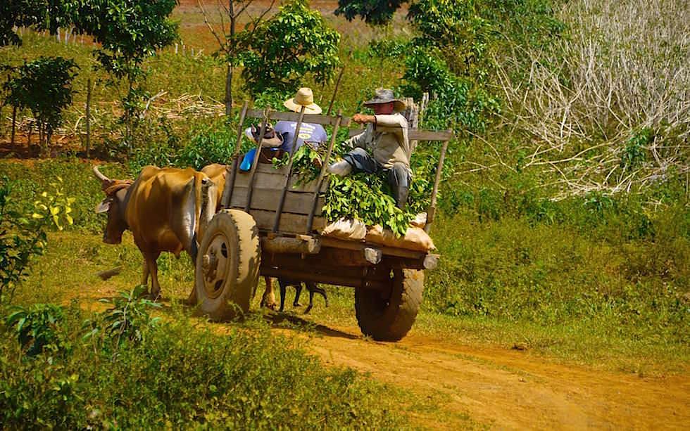 Ochsenkarren & Arbeiten auf Tabakfeldern im Valle de Vinales - Kuba